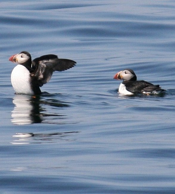 atlantic-puffin-from-american-eagle-patrick-burns