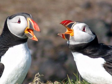In Search of the Puffin, an Iconic Maine Bird