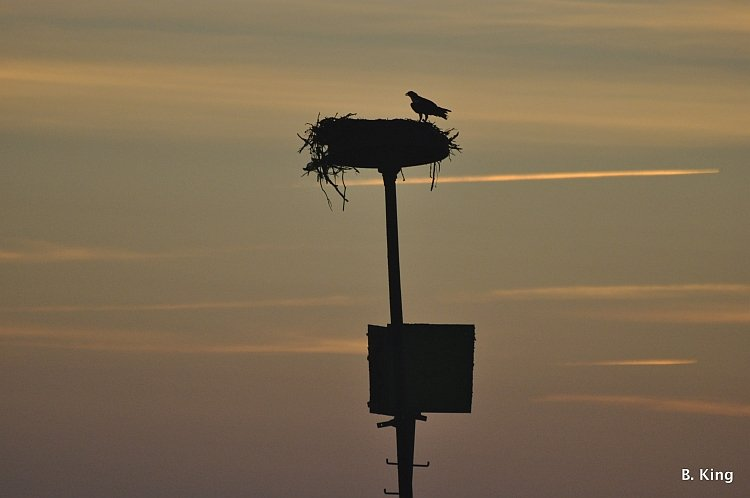 osprey-on-nest-barry-king