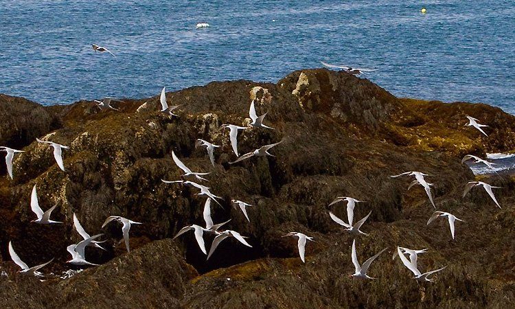 Friends of Maine's Seabird Islands