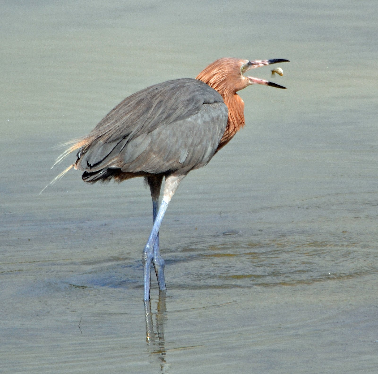 Reddish Egret (Egretta rufescens) by Michael Good